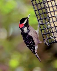 Downy Woodpecker on Suet Cage