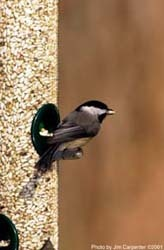 Chickadee on Quick-Clean Tube Feeder